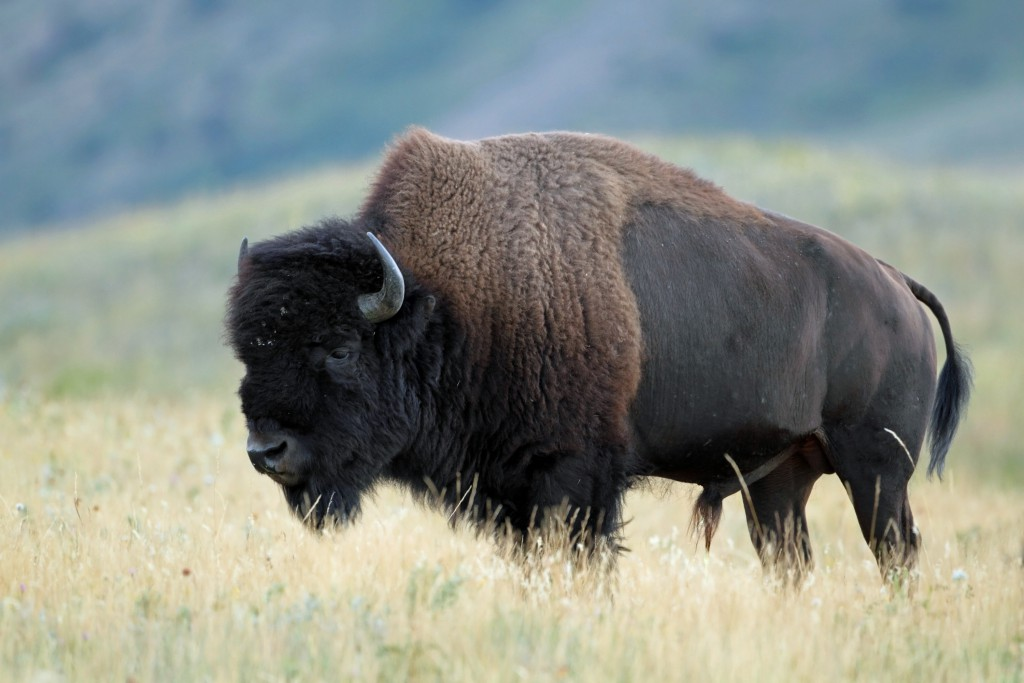 A plains bison in southern Alberta field